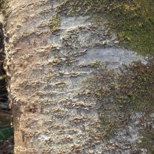 Photographie n°214031 du taxon Prunus avium (L.) L. [1755]