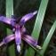 Liliane Roubaudi - Iris graminea L.
