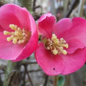 Chaenomeles speciosa (Sweet) Nakai (Cognassier à fleurs)