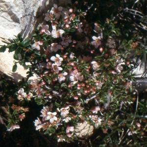 Photographie n°214143 du taxon Prunus prostrata Labill. [1791]
