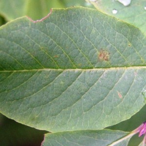 Photographie n°214173 du taxon Lonicera nigra L. [1753]