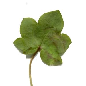Photographie n°214247 du taxon Linaria cymbalaria (L.) Mill. [1768]