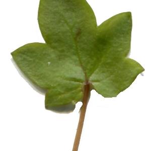 Photographie n°214250 du taxon Linaria cymbalaria (L.) Mill. [1768]