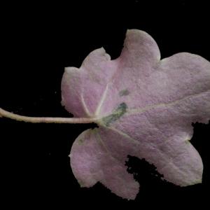 Photographie n°214264 du taxon Linaria cymbalaria (L.) Mill. [1768]