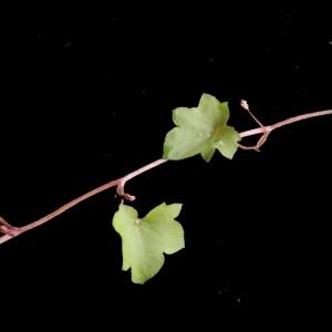 Photographie n°214266 du taxon Linaria cymbalaria (L.) Mill. [1768]