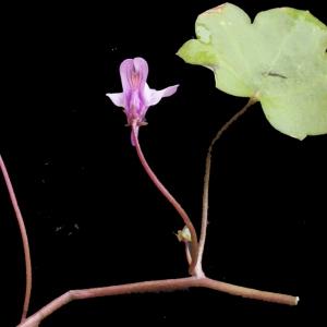 Photographie n°214267 du taxon Linaria cymbalaria (L.) Mill. [1768]