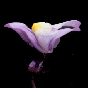 Photographie n°214270 du taxon Linaria cymbalaria (L.) Mill. [1768]