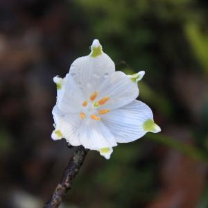 Leucojum vernum L. (Nivéole de printemps)