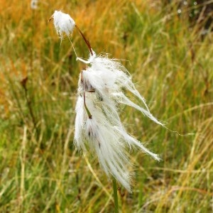 Eriophorum angustifolium Honck. subsp. angustifolium
