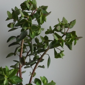 Photographie n°214385 du taxon Euphorbia peplus L. [1753]