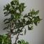 Jean-Claude Echardour - Euphorbia peplus L. [1753]