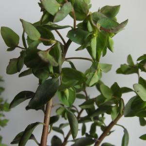 Photographie n°214386 du taxon Euphorbia peplus L. [1753]