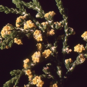 Photographie n°214402 du taxon Thymelaea hirsuta (L.) Endl. [1847]