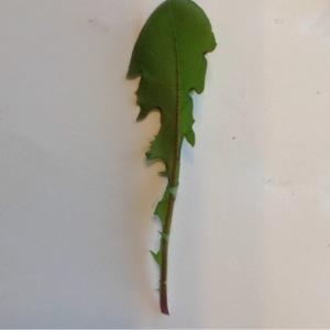 Photographie n°214415 du taxon Cichorium intybus L. [1753]