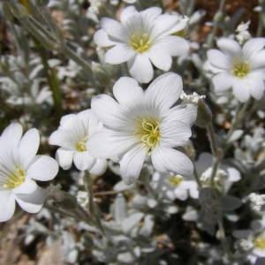 Cerastium tomentosum L. (Céraiste cotonneux)