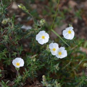 Photographie n°214467 du taxon Cistus umbellatus L. [1753]