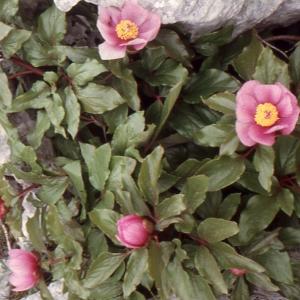 Paeonia mascula subsp. russoi (Biv.) Cullen & Heywood (Pivoine de Russo)