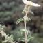 Liliane Roubaudi - Cistus creticus var. corsicus (Loisel.) Greuter [1967]