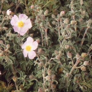 Photographie n°214537 du taxon Cistus creticus var. corsicus (Loisel.) Greuter [1967]