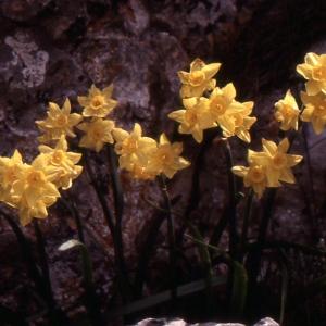 Photographie n°214544 du taxon Narcissus tazetta L.