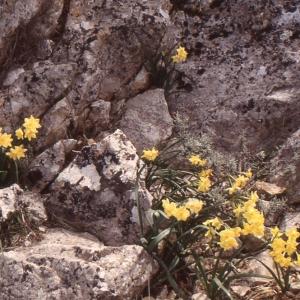 Photographie n°214545 du taxon Narcissus tazetta L.