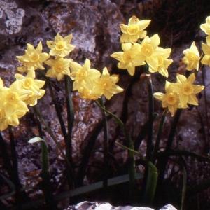 Photographie n°214546 du taxon Narcissus tazetta L.