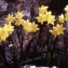 Liliane Roubaudi - Narcissus tazetta L. [1753]
