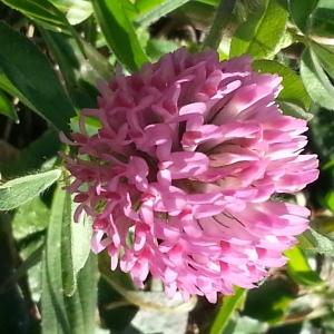 Photographie n°214557 du taxon Trifolium L. [1753]
