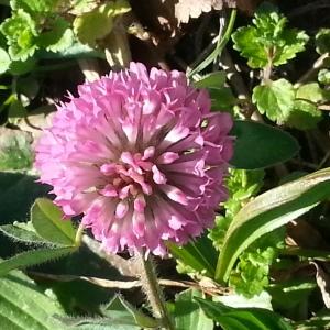 Photographie n°214558 du taxon Trifolium L. [1753]