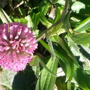 Photographie n°214559 du taxon Trifolium L. [1753]
