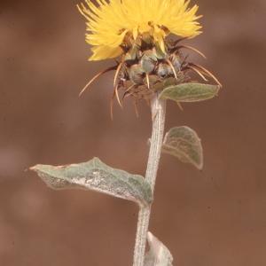 Centaurea sicula L. (Centaurée de Nice)