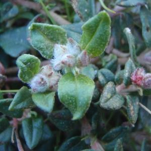 Photographie n°214604 du taxon Helianthemum marifolium (L.) Mill. [1768]