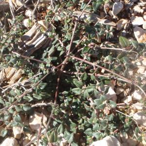 Photographie n°214607 du taxon Helianthemum marifolium (L.) Mill. [1768]