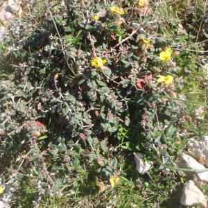 Photographie n°214612 du taxon Helianthemum marifolium (L.) Mill. [1768]