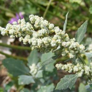 Chenopodium album L. (Ansérine blanche)