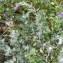 Jean-Claude Calais - Chenopodium album L.