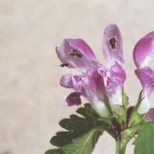 Photographie n°214638 du taxon Lamium maculatum (L.) L. [1763]