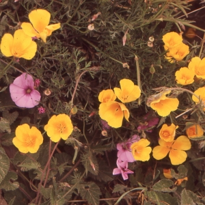 Photographie n°214677 du taxon Eschscholzia californica Cham. [1820]