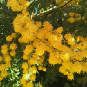 Photographie n°214706 du taxon Acacia dealbata Link [1822]