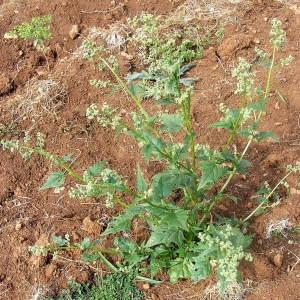 Photographie n°214709 du taxon Chenopodiastrum hybridum (L.) S.Fuentes, Uotila & Borsch