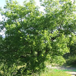 Photographie n°214729 du taxon Quercus pubescens Willd. [1805]