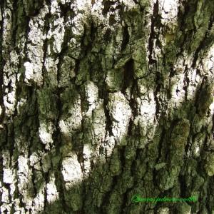 Photographie n°214730 du taxon Quercus pubescens Willd. [1805]