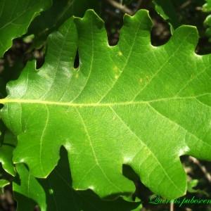 Photographie n°214731 du taxon Quercus pubescens Willd. [1805]
