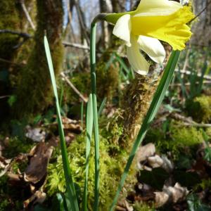 Photographie n°214738 du taxon Narcissus pseudonarcissus L. [1753]