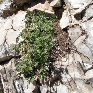 Photographie n°214775 du taxon Potentilla alchemilloides Lapeyr. [1782]