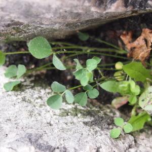 Photographie n°214844 du taxon Trifolium campestre Schreb. [1804]