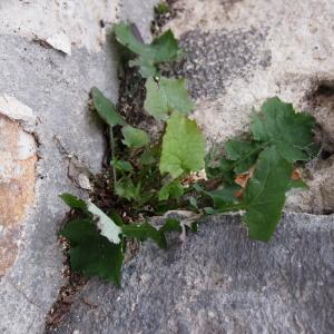 Photographie n°214846 du taxon Lactuca muralis (L.) G.Mey. [1836]