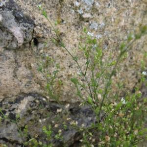 Photographie n°214880 du taxon Stellaire intermédiaire