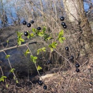 Photographie n°214976 du taxon Ligustrum vulgare L. [1753]