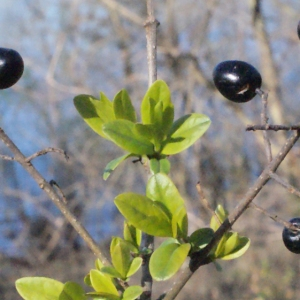 Photographie n°214980 du taxon Ligustrum vulgare L. [1753]